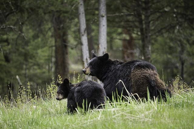 black-bears-Yellowstone National Park